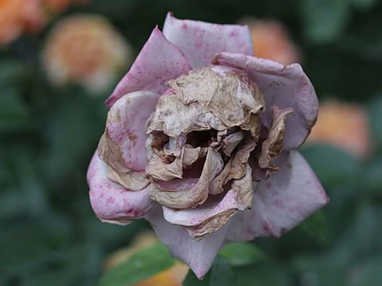 Day of the Dead- Rose!