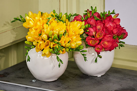 Freesia Arrangements from Holland America Flowers!